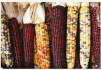 inca maize corn.PNG